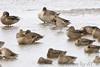 Stilt Sandpipers • Green-winged Teal • Northern Pintail <br /> Ellis Bay <br /> Riverlands Migratory Bird Sanctuary