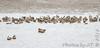 Green-winged Teal • Northern Shoveler • Northern Pintail <br /> Ellis Bay <br /> Riverlands Migratory Bird Sanctuary