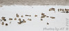 Stilt Sandpipers and Green-winged Teal<br /> Ellis Bay <br /> Riverlands Migratory Bird Sanctuary