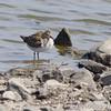 Pectoral Sandpiper <br /> Ellis Bay<br /> Riverlands Migratory Bird Sanctuary