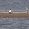 Caspian Tern <br /> Ellis Bay <br /> Riverlands Migratory Bird Sanctuary
