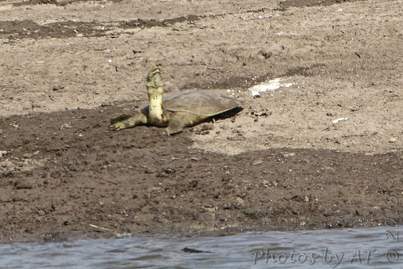 MIdland Smooth Softshell turtle <br /> Ellis Bay<br /> Riverlands Migratory Bird Sanctuary