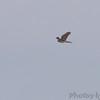 Coopers Hawk <br /> Ellis Bay <br /> Riverlands Migratory Bird Sanctuary