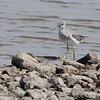 Greater Yellowlegs <br /> Ellis Bay<br /> Riverlands Migratory Bird Sanctuary