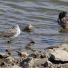 Greater Yellowlegs <br /> Ellis Bay <br /> Riverlands Migratory Bird Sanctuary