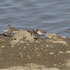 Least Sandpipers <br /> Ellis Bay <br /> Riverlands Migratory Bird Sanctuary