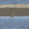 Marbled Godwit  <br /> Ellis Bay <br /> Riverlands Migratory Bird Sanctuary