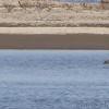 Marbled Godwit and Great Blue Heron <br /> Ellis Bay <br /> Riverlands Migratory Bird Sanctuary