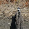 Belted Kingfisher <br /> Lincoln Shields Area <br /> Riverlands Migratory Bird Sanctuary