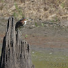 Green Heron <br /> Chased kingfisher of the stump <br /> Lincoln Shields Area <br /> Riverlands Migratory Bird Sanctuary