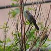Gray Catbird <br /> Bridgeton, MO <br /> 2018-09-24 09:55:28