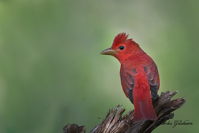 Summer Tanager in Mayesville, Alabama.