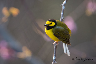 Male Hooded Warbler on Monte Sano.