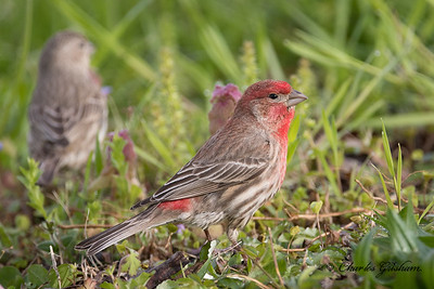 The ever so rare...House Finch!    (-;