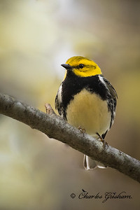 Adult,  male, spring plumage Black-throated Green Warbler on Monte Sano.