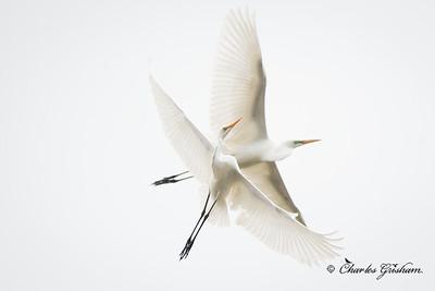 Great Egret crossing
