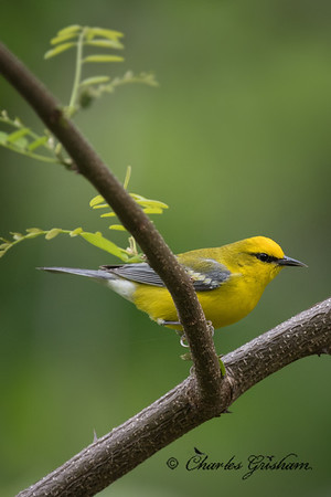 Male, Blue-winged Warbler on Monte Sano mountain.