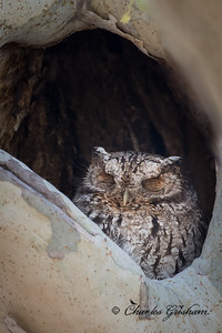 Whiskered Screech Owl within Cave Creek Canyon in the Chiricahua Mountains of southeast AZ.