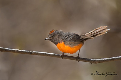 Slate-throated Redstart in the Chiricahuas near Mexico.