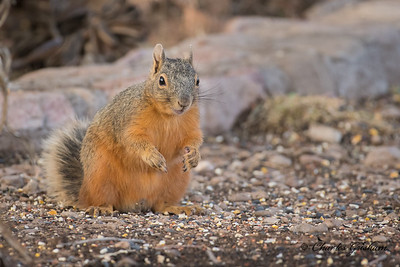 Chiricahua Fox Squirrel at Cave Creek Ranch.  Chiricahua Mountains, AZ.