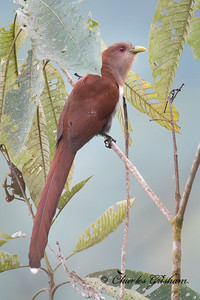 Squirrel Cuckoo. One of many that we saw in Ecuador. This one was alongside road E20 on the way from Anitsana to Wild Sumaco, at approx. 1300 meters elevation. 2/18/18.