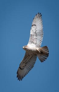Ferruginous Hawk (immature)