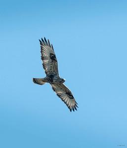 Rough-legged Hawk (female)