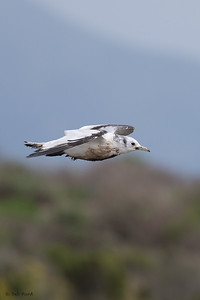 (Oiled) Black-legged Kittiwake