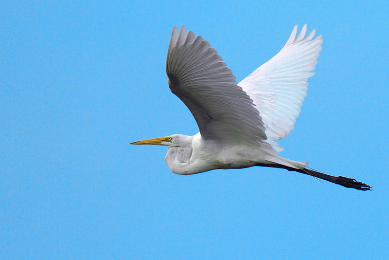 Another Great Egret Heading West Against a Gray Sky, Edited