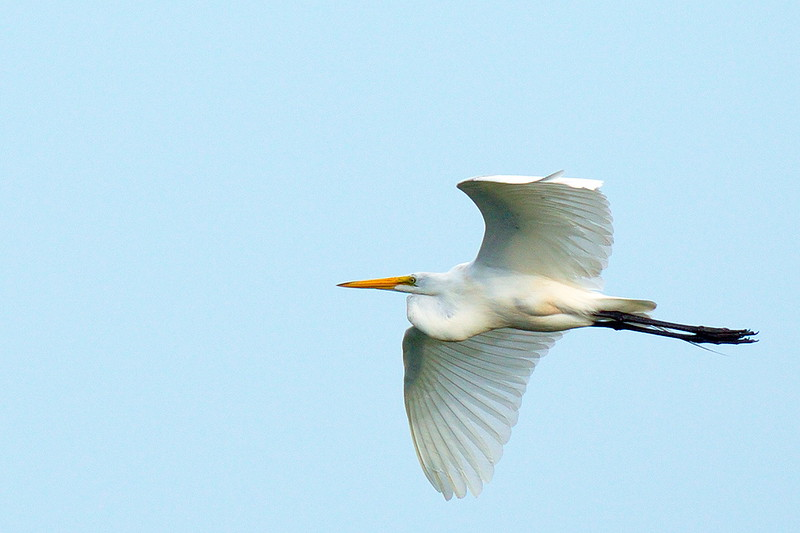 Great Egret approaching the rookery by heading west.