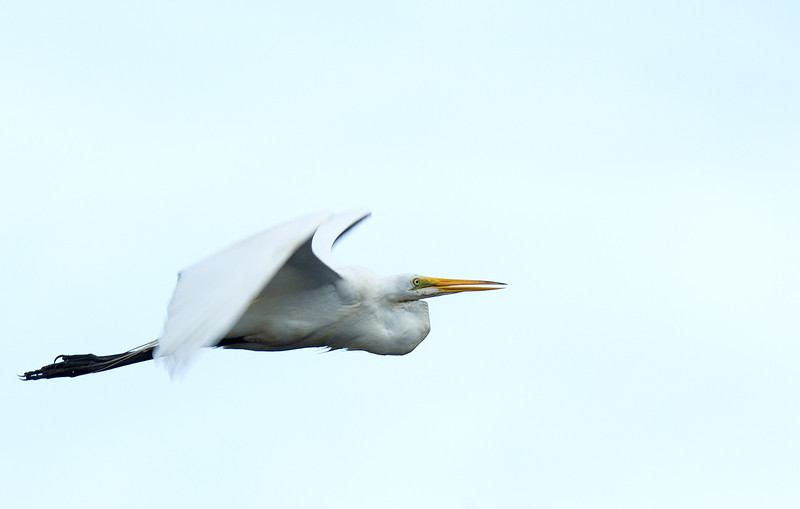 Great Egret leaving the rookery and heading east.