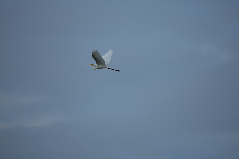 Another Great Egret heading west against a gray sky