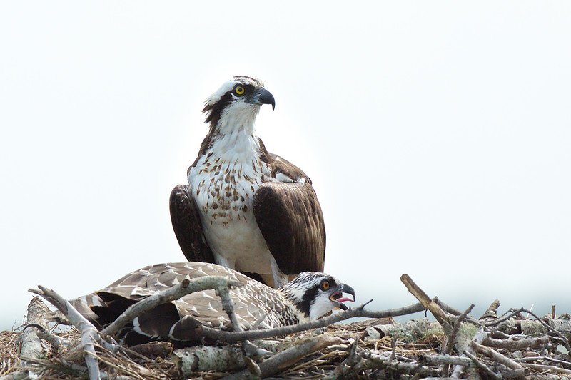 Adult Osprey with immature offspring in their nest