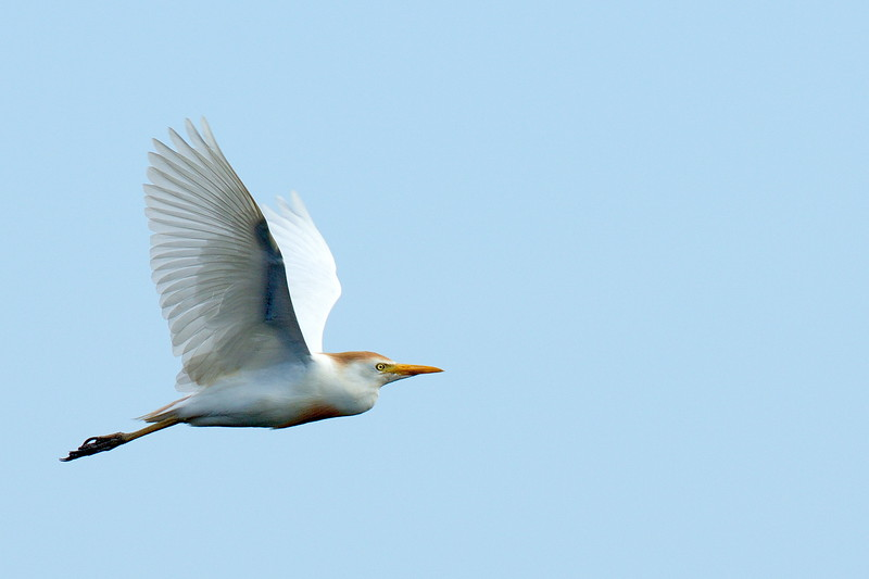 Cattle Egret leaving the rookery and heading east.