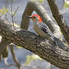 Red-bellied Woodpecker <br /> Robin Hill, St. Louis County, Missouri