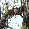 """My first sighting""<br /> Western Tanager <br /> Up high in tree down the street <br /> Robin Hill, St. Louis County, Missouri <br /> <br /> No. 349 on my Lifetime List of Bird Species <br /> Photographed in Missouri."