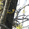 Western Tanager <br /> Up high in tree down the street <br /> Robin Hill, St. Louis County, Missouri