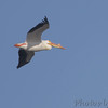 American White Pelican <br /> Riverlands Migratory Bird Sanctuary