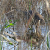 American Bittern <br /> Heron Pond <br /> Riverlands Migratory Bird Sanctuary