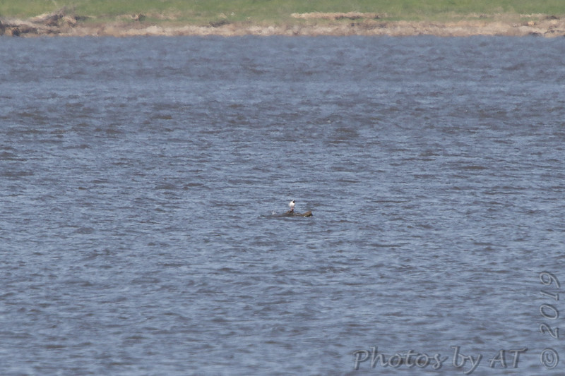 Least Tern <br /> Perched out in Ellis Bay <br /> Riverlands Migratory Bird Sanctuary