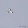 Least Tern <br /> 1st seen perched out in Ellis Bay <br /> Bird is ~1/4 from end of Riverlands Way towards the south <br /> Riverlands Migratory Bird Sanctuary