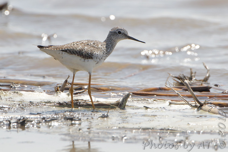 Lesser Yellowlegs <br /> Cora Island Road