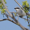 Loggerhead Shrike <br /> Darst Bottom Road <br /> St. Charles County
