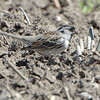 Harris's Sparrow <br /> Darst Bottom Road <br /> St. Charles County