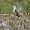 Scissor-tailed Flycatcher <br /> Darst Bottom Road <br /> St. Charles County