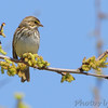 Savannah Sparrow <br /> Darst Bottom Road <br /> St. Charles County