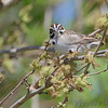 Lark Sparrow <br /> Darst Bottom Road <br /> St. Charles County