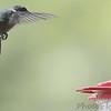 Ruby-throated Hummingbird<br /> Front yard feeder <br /> Bridgeton, Mo <br /> 2019-04-23
