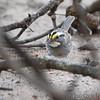 White-throated Sparrow <br /> Back patio <br /> Bridgeton, Mo <br /> 2019-04-21