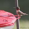 Ruby-throated Hummingbird <br /> 1st of year <br /> Backyard feeder <br /> Bridgeton, Mo <br /> 2019-04-21